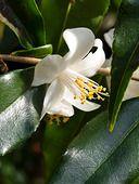 435183 - Camellia (Camellia tsaii)