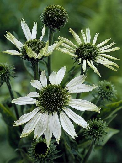 • Darwin Plants - Perennials - Echinacea