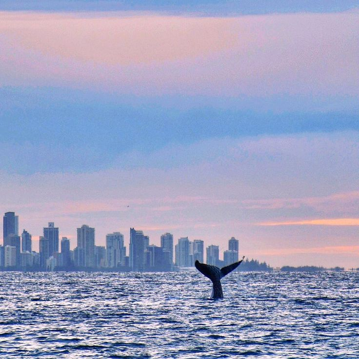 Majestic Humpback whale swimming through the waters of the Gold Coast by @alittleatlarge