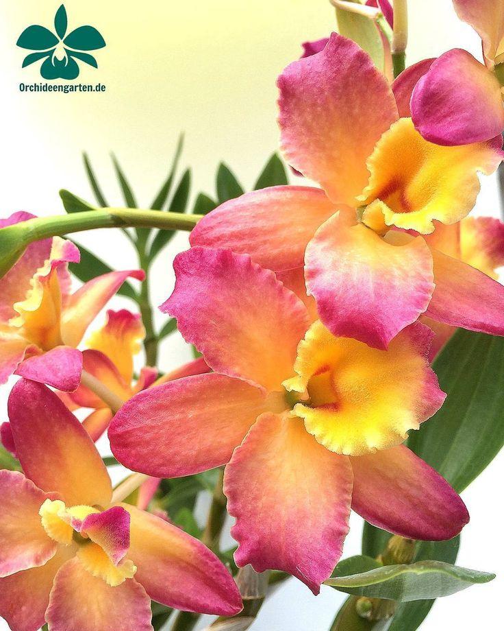 Dendrobium Oriental Smile #orchids #Orchidee #Orchideen #OrchIDEENgarten #orquídea #orquídeas #orchidées #orchidée #orchidej #orchideje #orkid #orkidéer #storczyki #storczyk #nature #naturelovers...