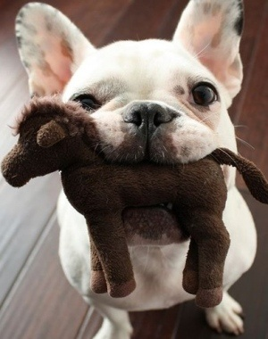 white french bulldog puppy, with horse Check more at http://hrenoten.com