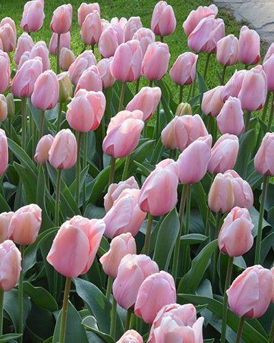 Tulip Salmon Impression - Flower Bulbs - DutchGrown