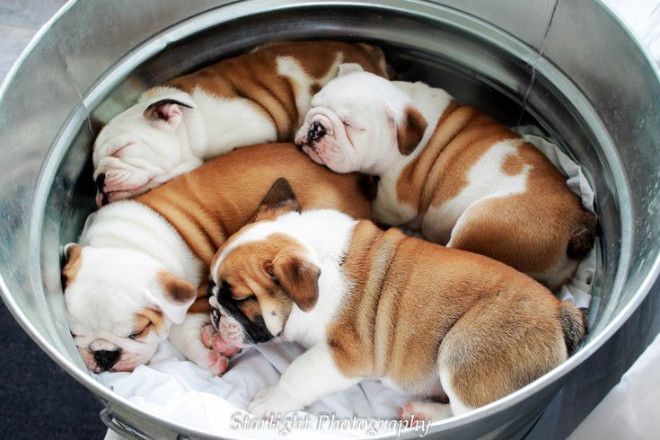 Photographing the Rockford, IL & Madison, WI areas! www.Starlight-Photography.net English Bulldog Puppies!