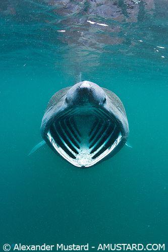 Say Ahhhhhhh  basking shark   ;)