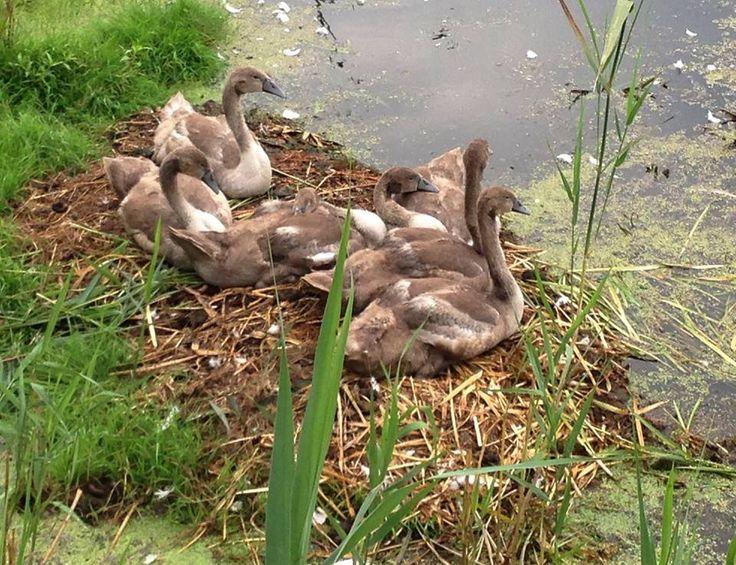 Little swans http://www.stanica-kiermusy.pl/pl/
