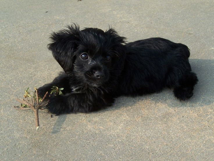 Yorkipoo Dog For Sale