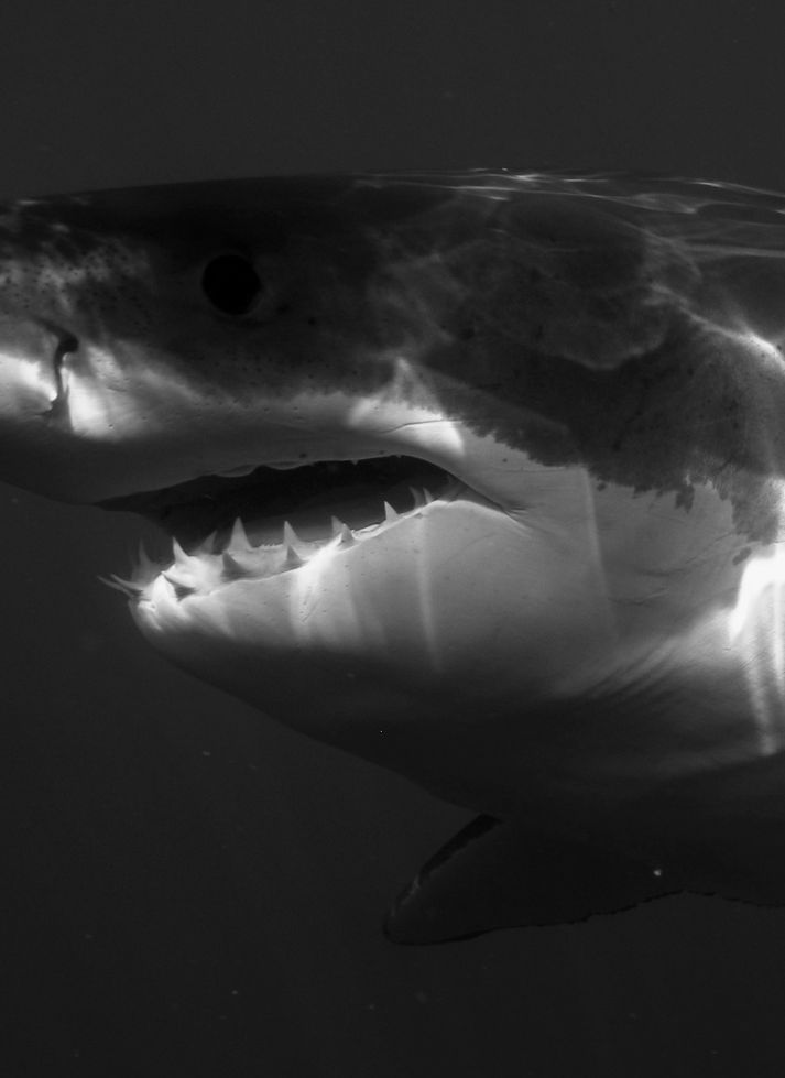 A world of Great White Sharks