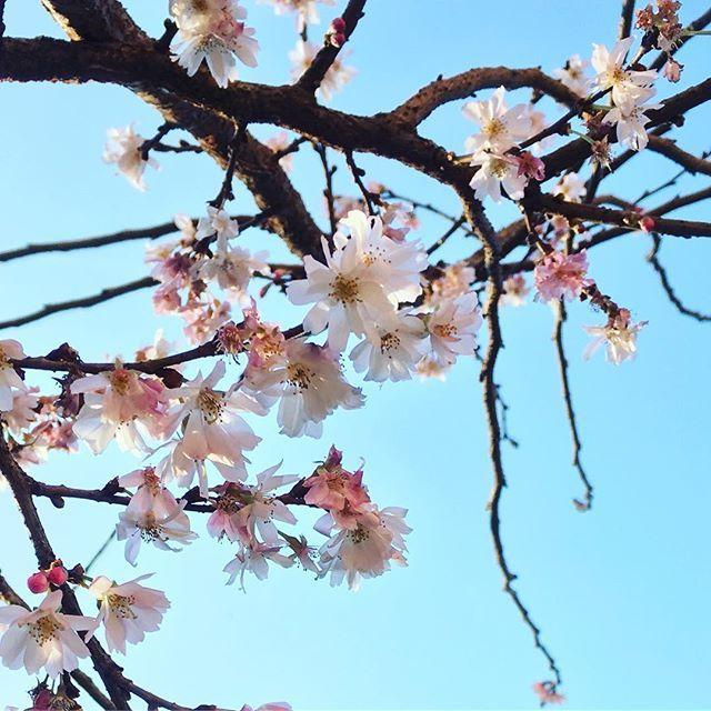 【catharina.k.j】さんのInstagramをピンしています。 《#spring#sakura#sakuraflowers#cherryblossoms#springinjanuary#prunusserrulata#prunus#springinlondon#cherrytree#pinkflowers#vårblomster#kirsebærblomster#rosablomster#vårtegn#vårblomst》