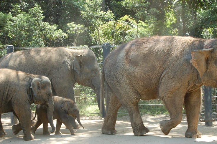 Baby Elephant at Melbourne Zoo, Australia.