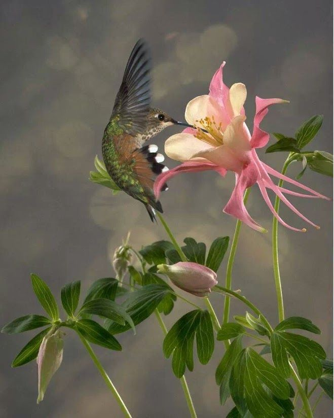 Hummingbird and Columbine flower