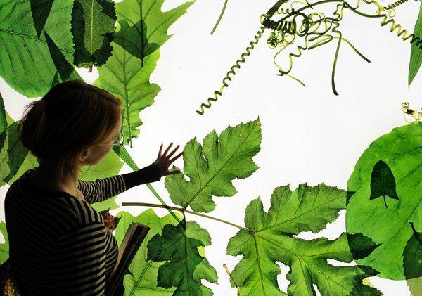 Vorbild Pflanze: Die Forscher aus Licht und Wasser Energie in Form von Brennstoffen herstellen. (Foto: Ulrich Stübler/Museum für Naturkunde)