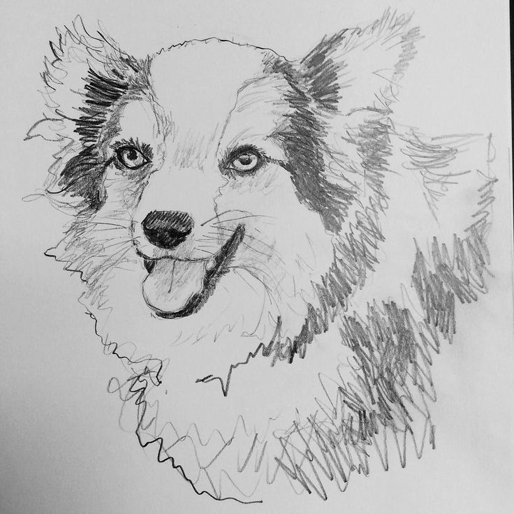 @bacon_and_buddies couldn't resist this face. Reminds me a bit of my old Jebediah. Probably the soulfulness of the eyes. #australianshepherd #australianshepherdsketch #bluemerleaussie #miniaussie #miniatureaustralianshepherd #bluemerleminiaussie #bacon #pencil #pencilsketch #pencildog #pencildrawing