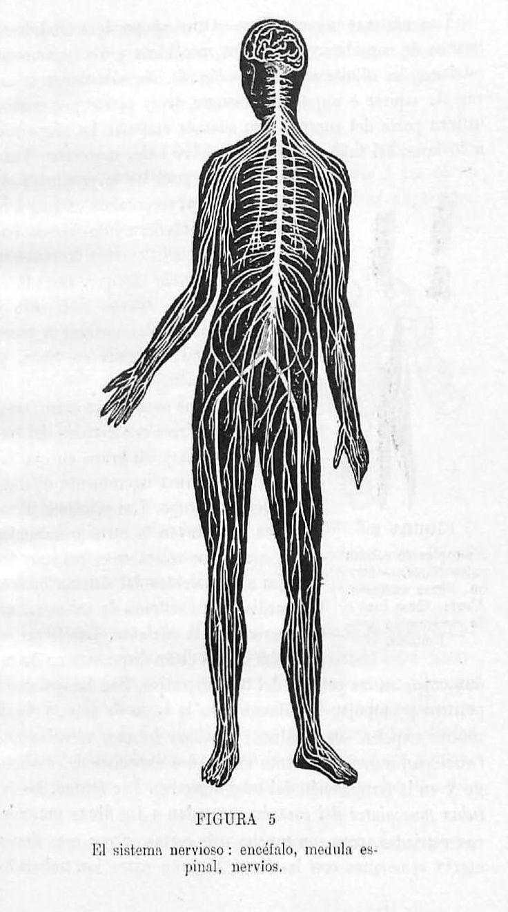 """""""El sistema nervioso: encéfalo, médula espinal, nervios"""". Lámina perteneciente a Elementos de fisiología e higiene. Disponible en http://helvia.uco.es/xmlui/handle/10396/6590"""