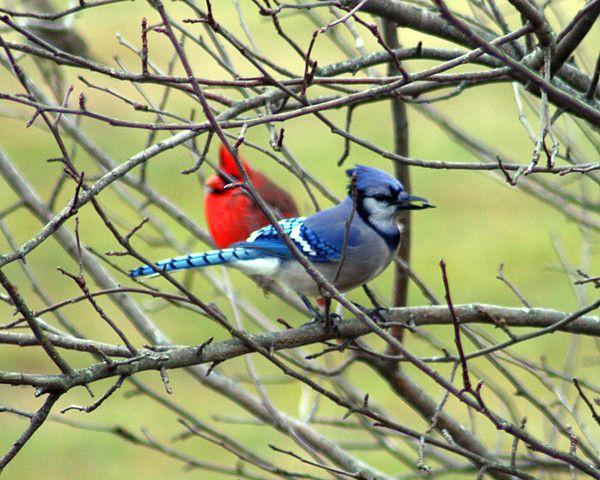 A New England Winter Garden Blue Jays And Cardinals Pinterest