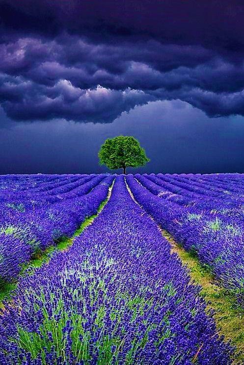 Lavender Field Storms.. by Antony Zacharias Source: 500px.com via http://loggardenia.tumblr.com/post/144321019554/peaceflavor-lavender-field-storms-by-antony