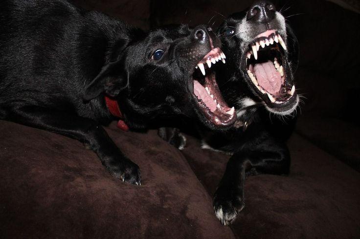 Warum knurren Hunde?