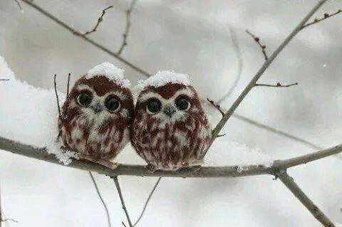 Kış ve yavru baykuşlar