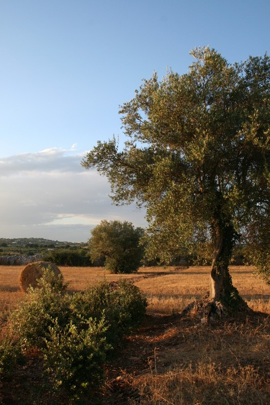 sundowner in Puglia the exceptional grounds of Puglia are the best to grow food, cause of its minerals and other special properties http://www.italianeat.nl