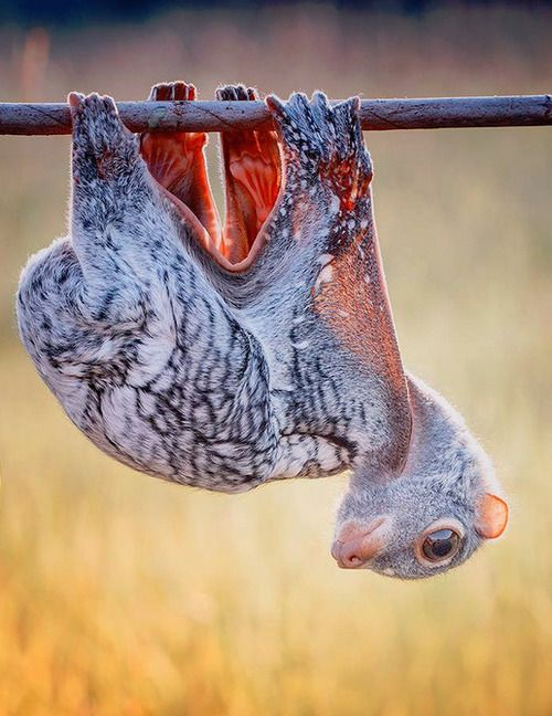 Sunda Flying Lemur, an Endangered Species, threatened by massive habitat destruction in Indonesia and the Philippines.