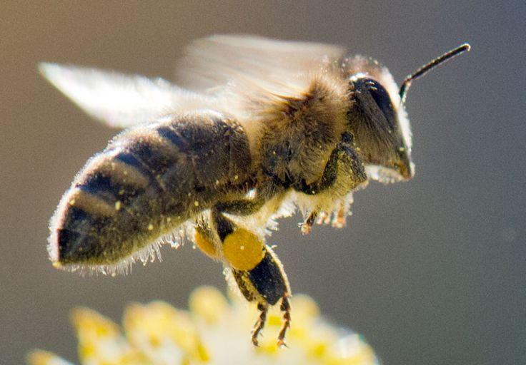 IlPost - Un'ape raccoglie polline da un fiore, in una foto scattata a Francoforte, in Germania (BORIS ROESSLER/AFP/Getty Images) - Un'ape raccoglie polline da un fiore, in una foto scattata a Francoforte, in Germania  (BORIS ROESSLER/AFP/Getty Images)