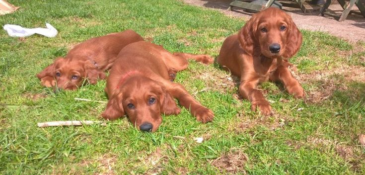 All Sold More Next Year Irish Setter Puppies Setter Puppies