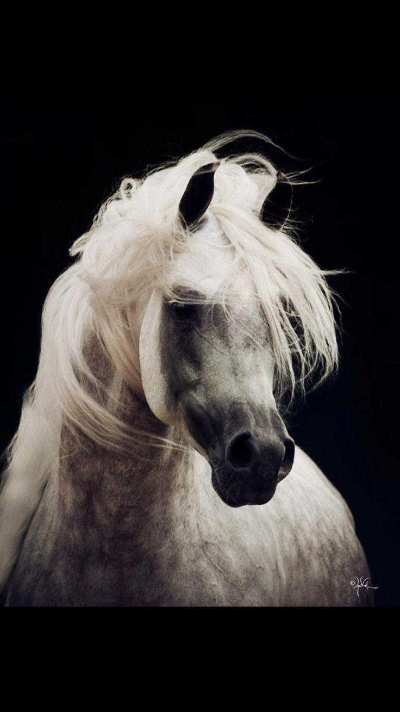 Grey Arab horse