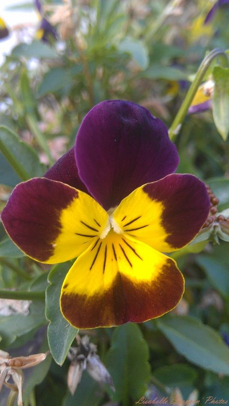 Yellow Purple Pansy Duncan 2014