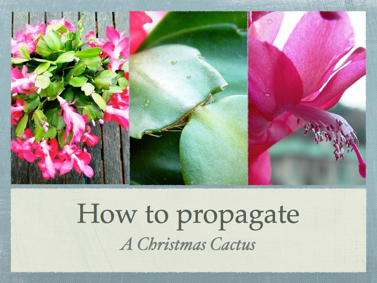step by step on how to propagate a christmas cactus garden pinterest happy christmas and. Black Bedroom Furniture Sets. Home Design Ideas