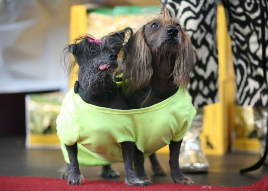 """The World's Ugliest Dog contestants, Boolah and Isaboo, from left, wander around the stage after the 2012 World's Ugliest Dog contest at the Sonoma-Marin Fair in Petaluma on June 22, 2012 in California.     """"Mugly"""" wins World's Ugliest Dog title    Credit: AFP Photo/Kimihiro Hoshino/Getty Images"""