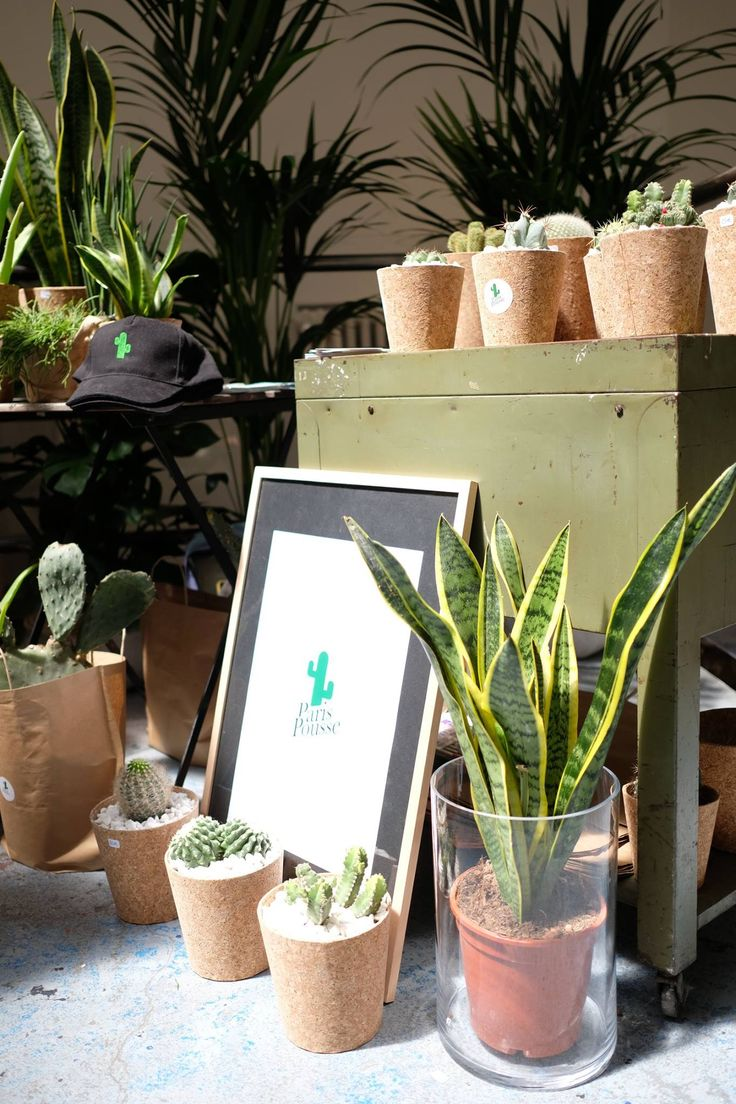 Stand les others - snsevieria, kentia et cactus