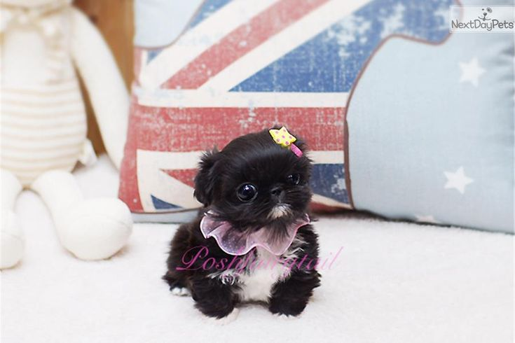 i am a cute pekingese puppy  looking for a home on nextdaypets com