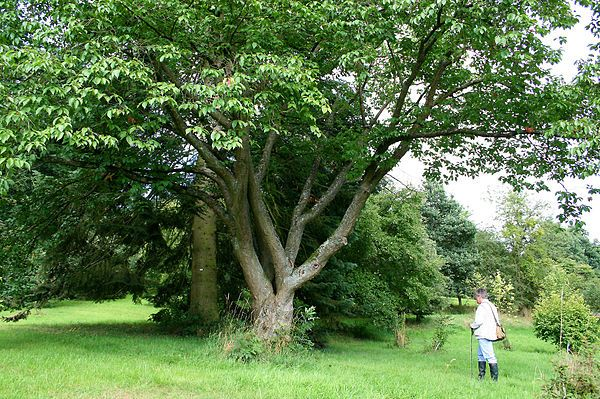 Prunus sargentii - Wikipedia, the free encyclopedia
