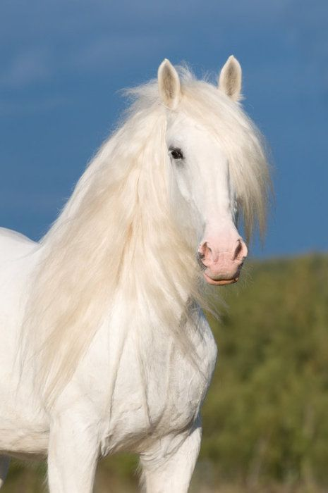 Buy Friesian White horse pictures picture trends
