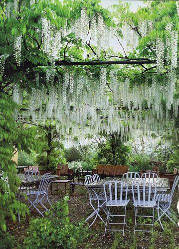 White wisteria GLICINAS BLANCAS