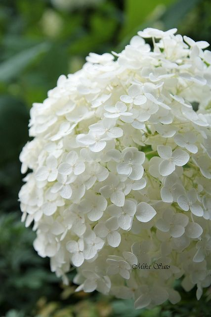 Annabelle Hydrangea, white, mophead variety, soil acidity doesn't change color