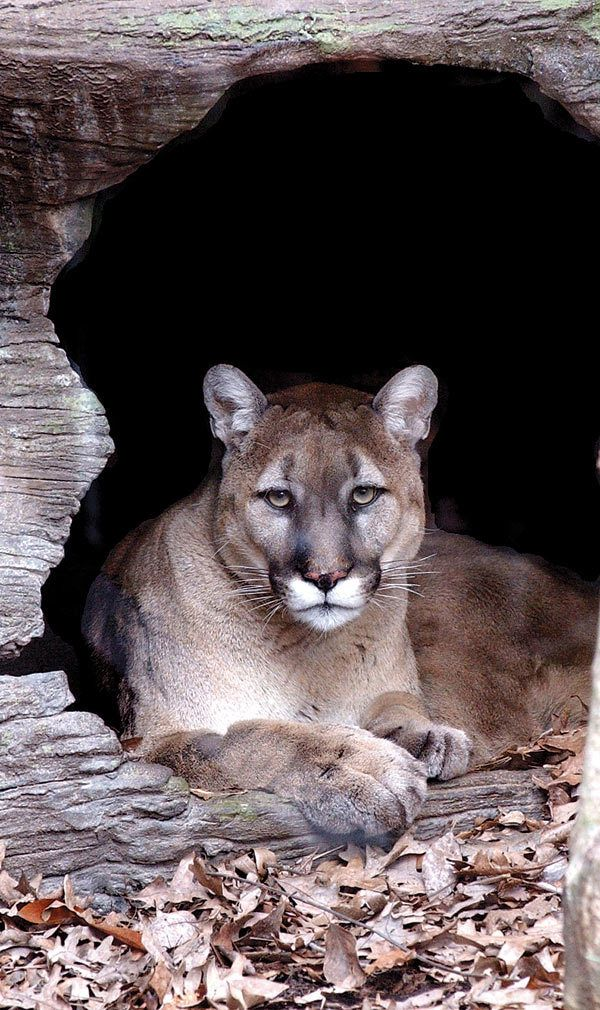 Mountain lion in the Smoky Mountains.   Extinct- Eastern Mountain Lion.