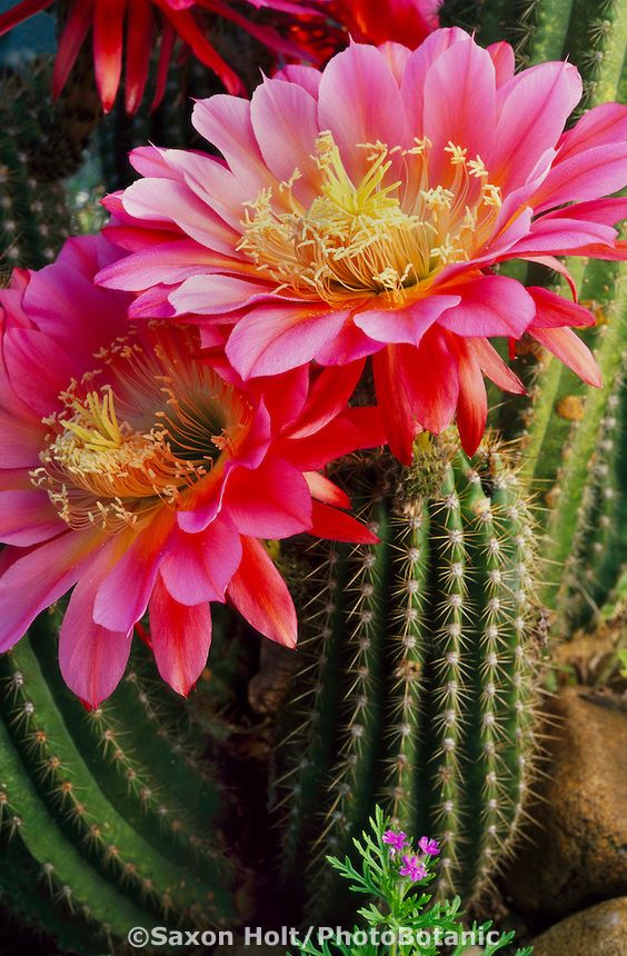 Echinopsis 'Flying Saucers'