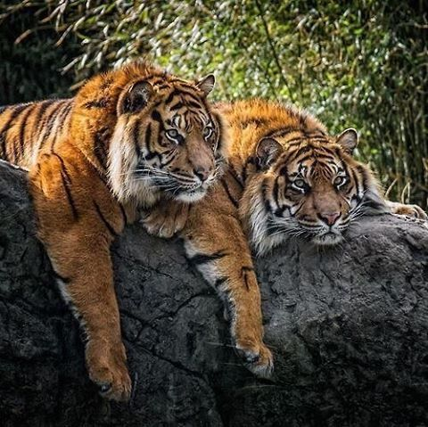 "6,625 Likes, 20 Comments - Animals - Wildlife (@wildlifeowners) on Instagram: ""Brothers, Sumatran Tigers | Photo by ©Joop Bastinck  #wildlifeowners"""