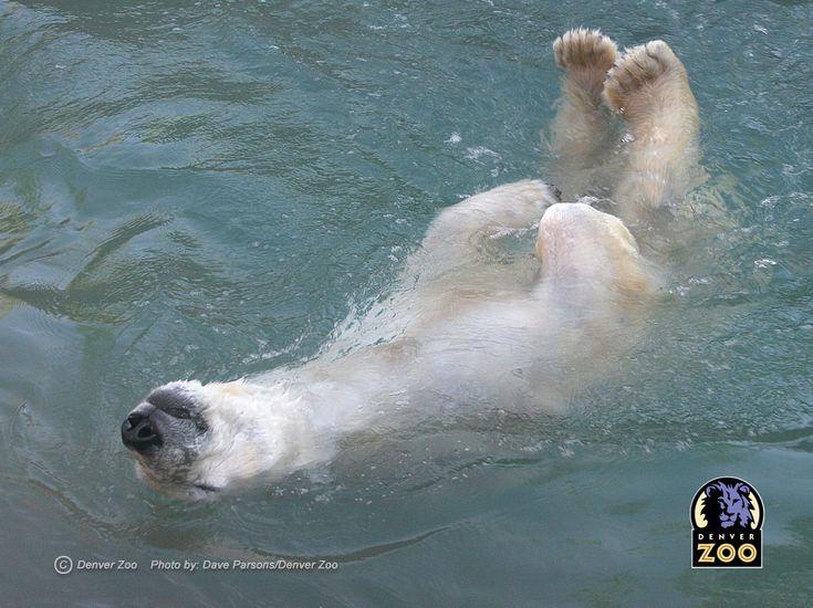 Denver Zoo.  Polar Bears.