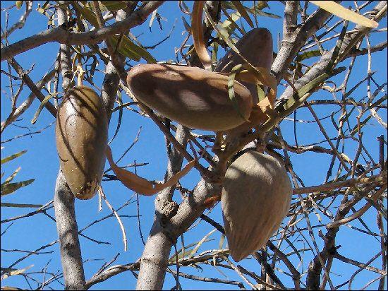 Bush Banana (Leichhardtia australis)  Also commonly known as silky pear, Doubah, Native pear.