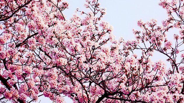 Los japoneses disfrutan admirando la naturaleza y sus acontecimientos. El Hanami es un buen ejemplo de cómo un fenómeno natural consigue reunir a millones de personas en todos los rincones del país celebrando con ilusión bajo los cerezos durante varias semanas al año. Leer más: http://lonelyplanet.es/blog-hanami-la-belleza-de-las-flores-353.html