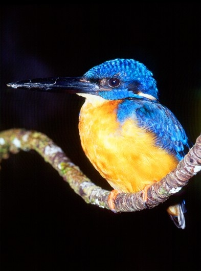 Kingfisher (The king)