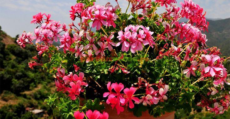 4 lucruri fără de care muşcatele vor cheli de frunze şi vor înflori puţin   Paradis Verde
