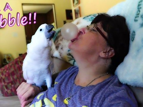 Onni is a baby umbrella cockatoo who is completely fascinated with bubble gum. He is inquisitive about the pink bubbles that come out of his owners mouth, but leary of the alien looking things at the same time. He can't figure out where the bubbles come for the life of him because when his owner lets him look in her mouth ... there is no gum to be found (she hides it under her tongue). He can smell something yummy from her mouth and see's her chewing it though. He wants it so bad but every…
