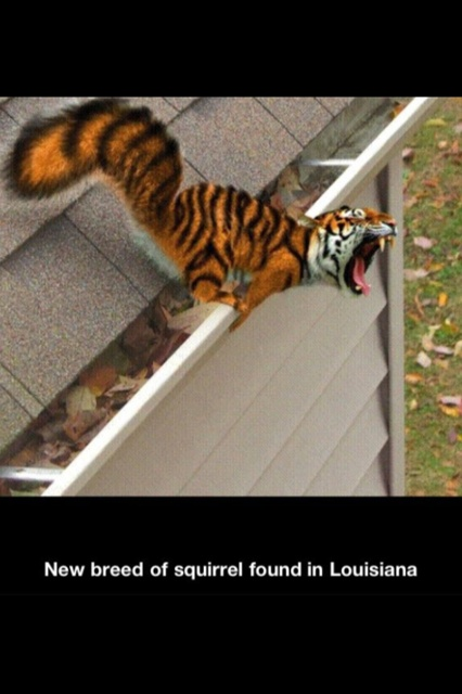 "LSU  >^. .^<  These are the squirrels found on the LSU main campus in Baton Rouge....we refer to them as ""Tiger Squirrels"" !!!!  Very fierce !!!!"