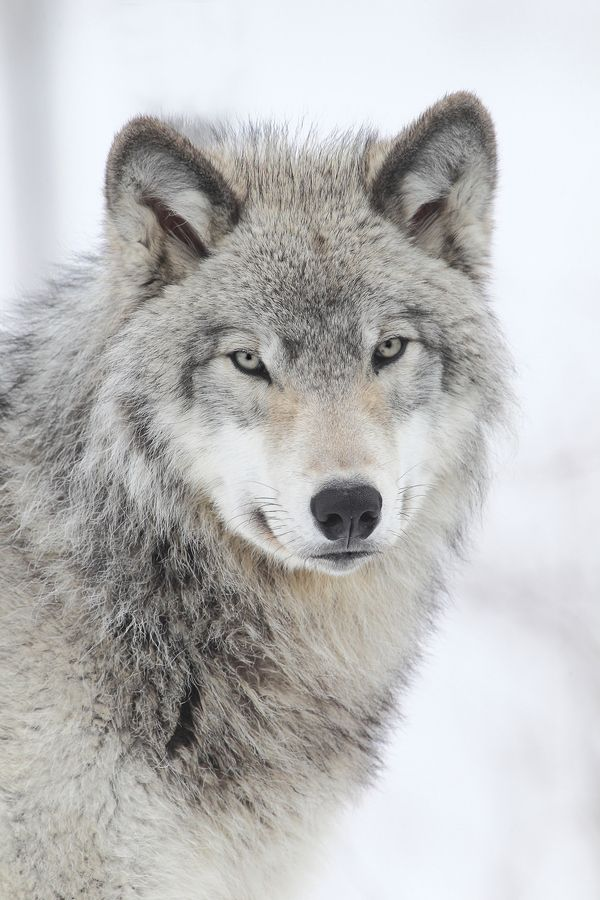 This Wolf is so Majestic and Stunning, what an excellent pic!