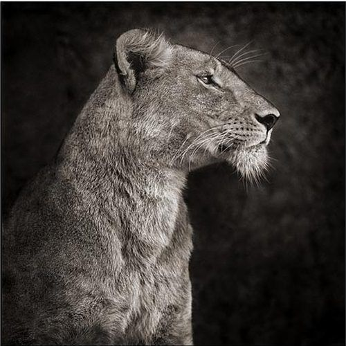 "Nick Brandt is a renown animal photographer which has become famous with his book of photographs, ""On This Earth"", which was published in October 2005."