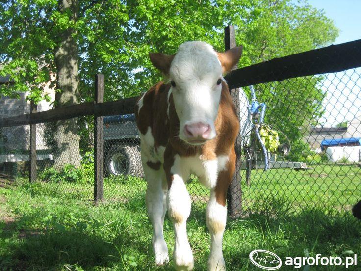 #krowa #zwierzęta #rolnictwo