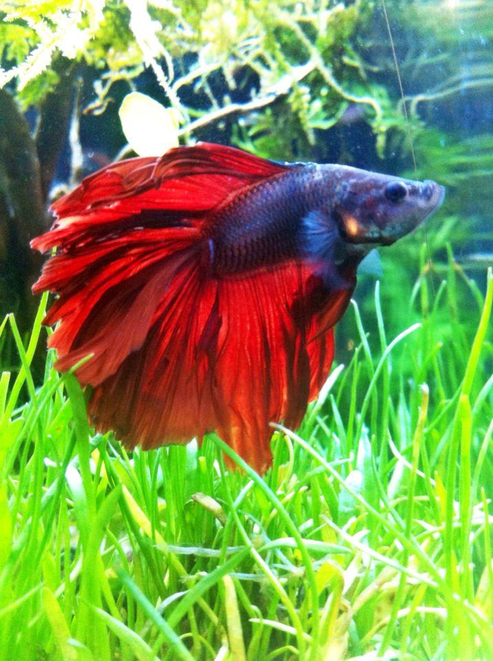 My betta fish Rosetail