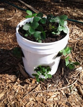 Our Journey To A Simpler Life Diy Strawberry Planter From 5 Gallon